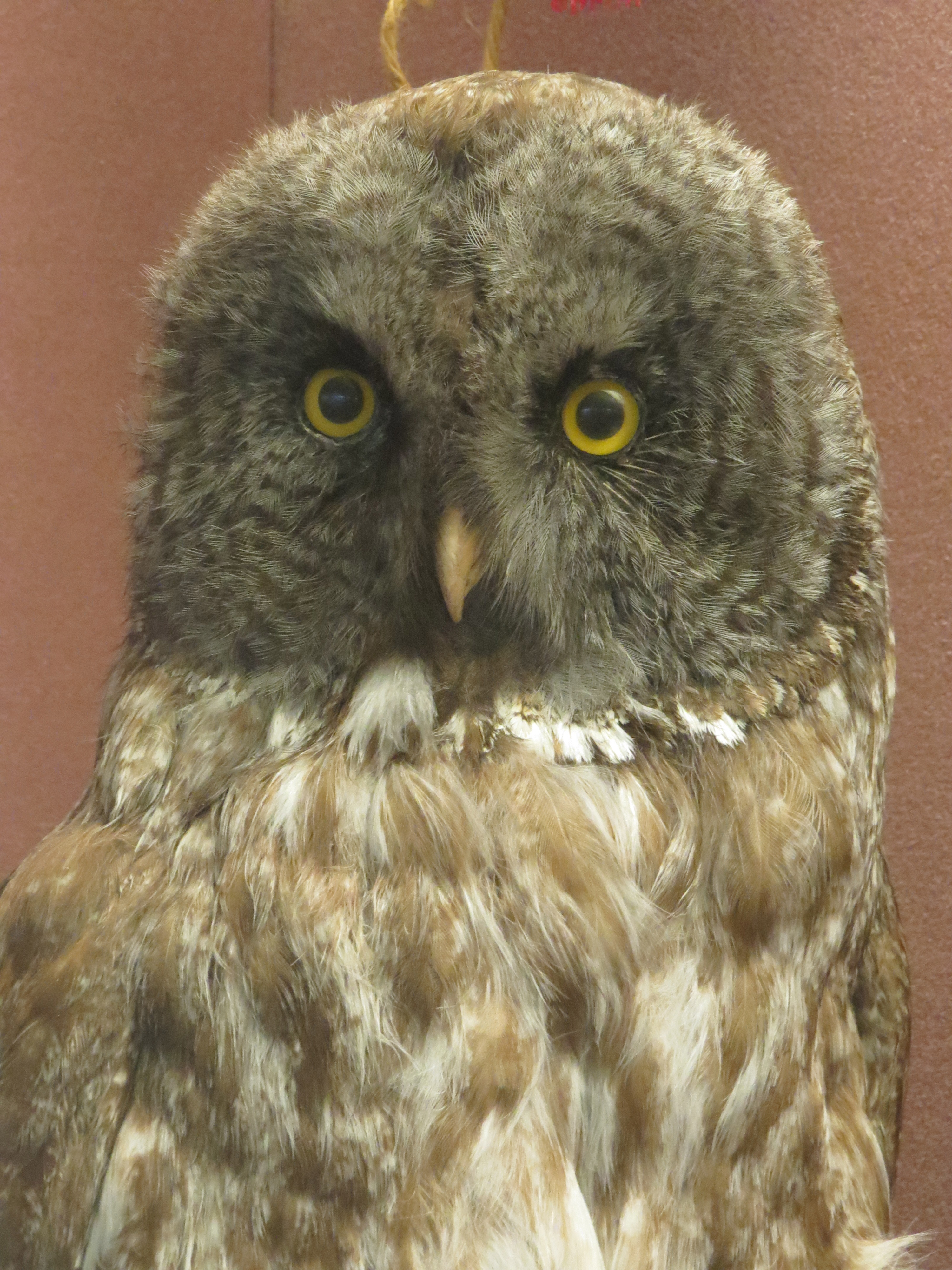 A Great Gray Owl