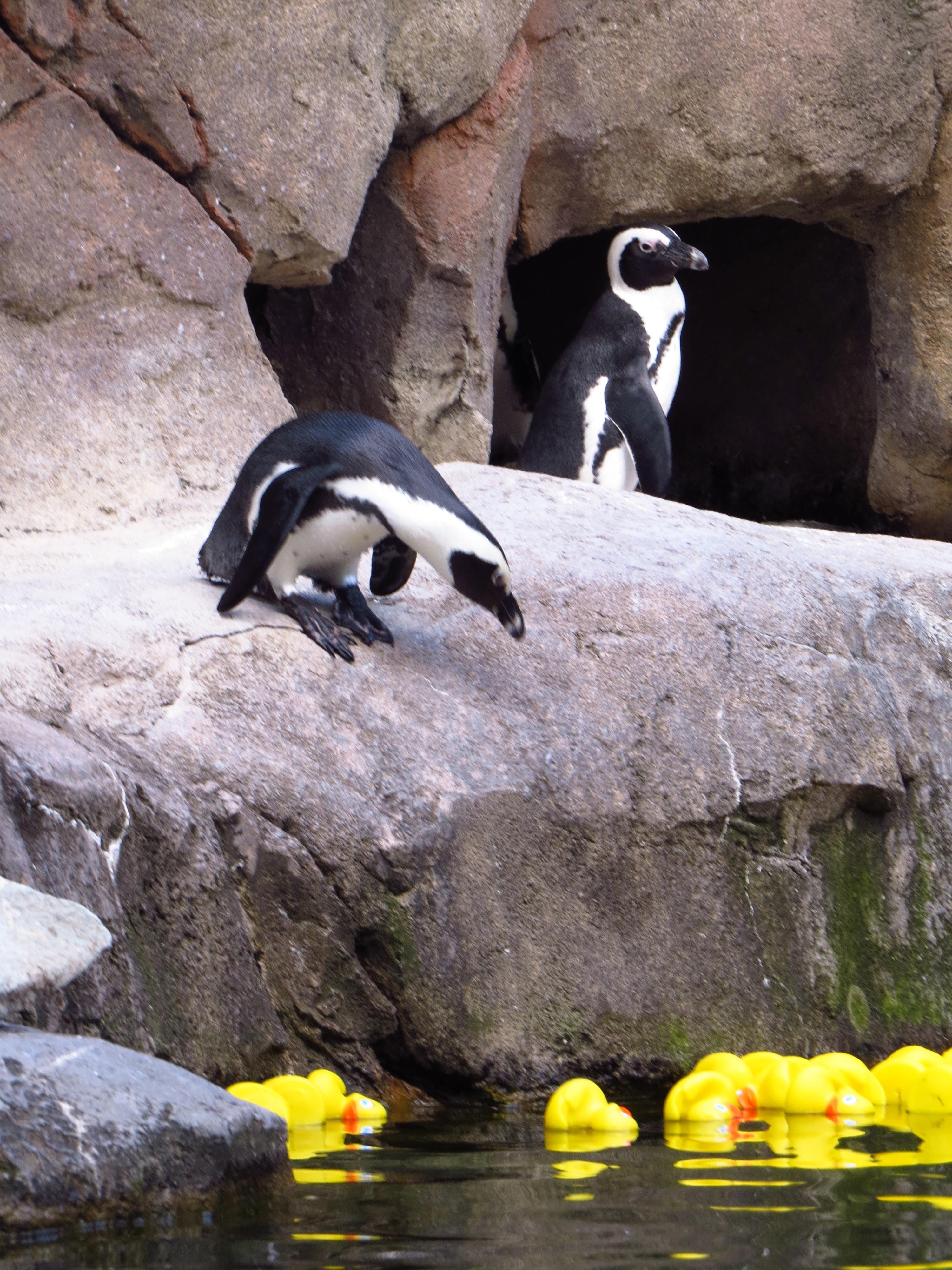 Penguins meet the ducks...