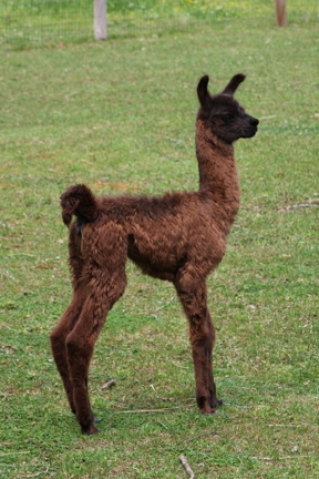 Been away awhile... Baby llamas, fiber shows and painting deadlines