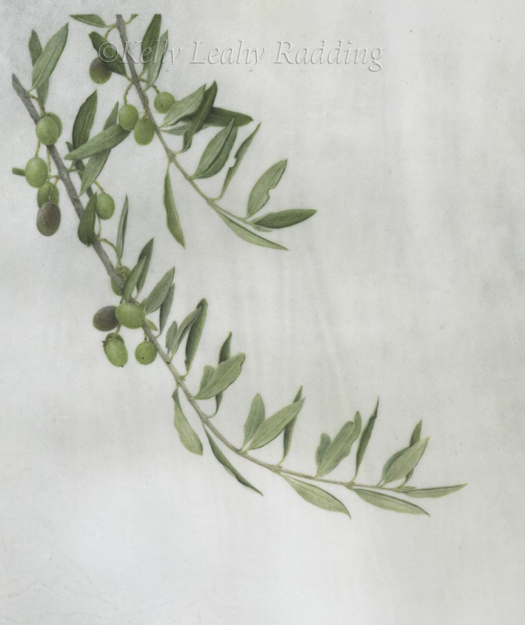Kelly Leahy Radding Olea europaea - Olive Branch - Kelly Leahy Radding