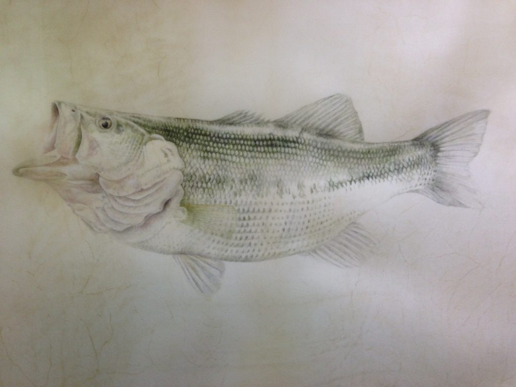 largemouth bass, vellum