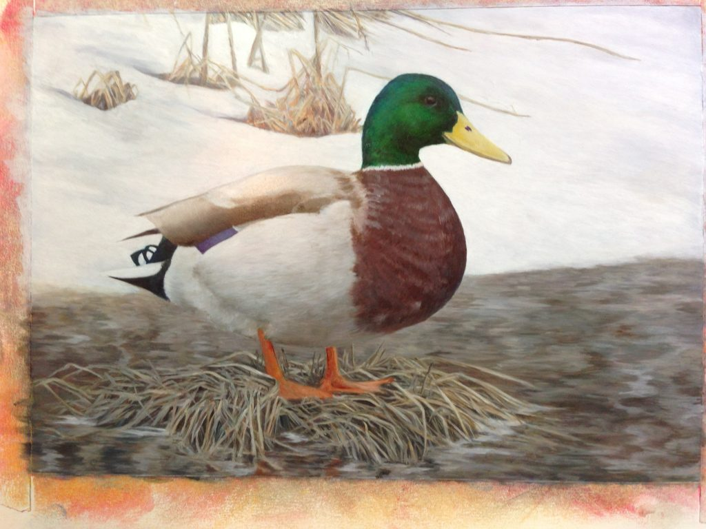 Mallard in Winter