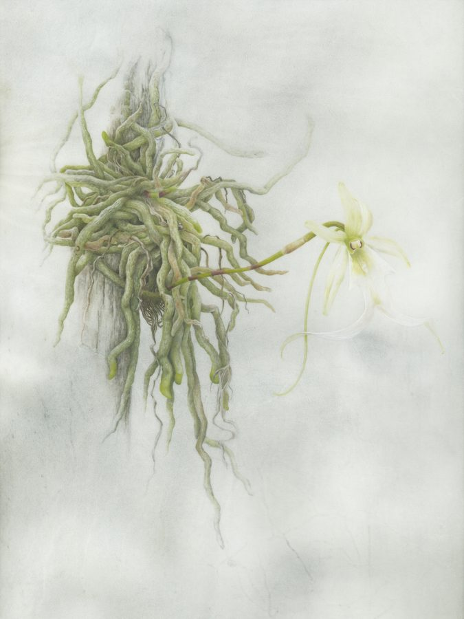 Ghost Orchid - an endangered plant in Florida.