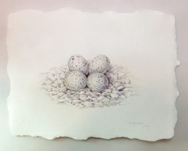 Plover Nest & Egg