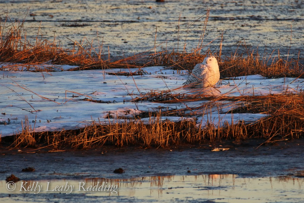 Snowy owl bathed in the colors of sunset