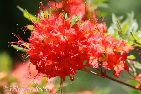 flame azalea, flower