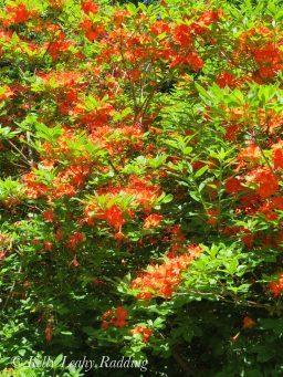flame azealea bush