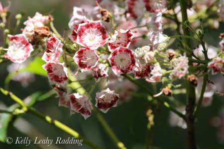 mountain laurel, pink