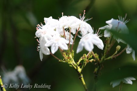 mountain laurel, star white
