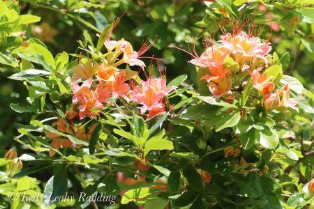 pink puff azalea, bush