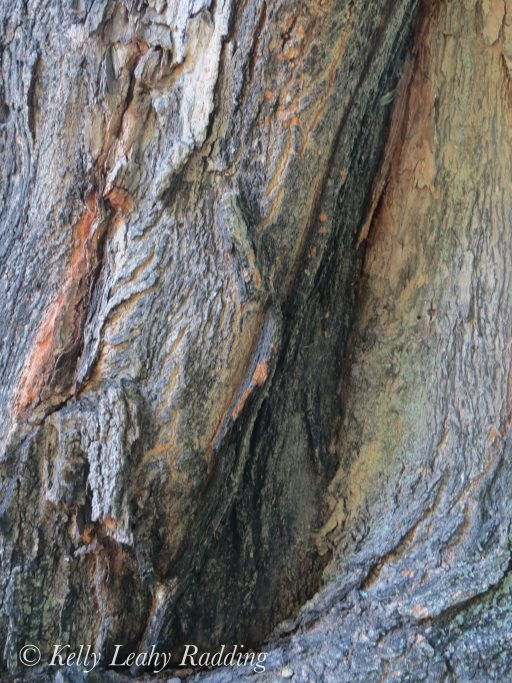 sugar maple, tree, bark