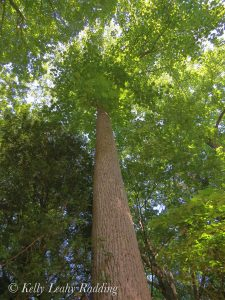 Very tall tulip tree!!