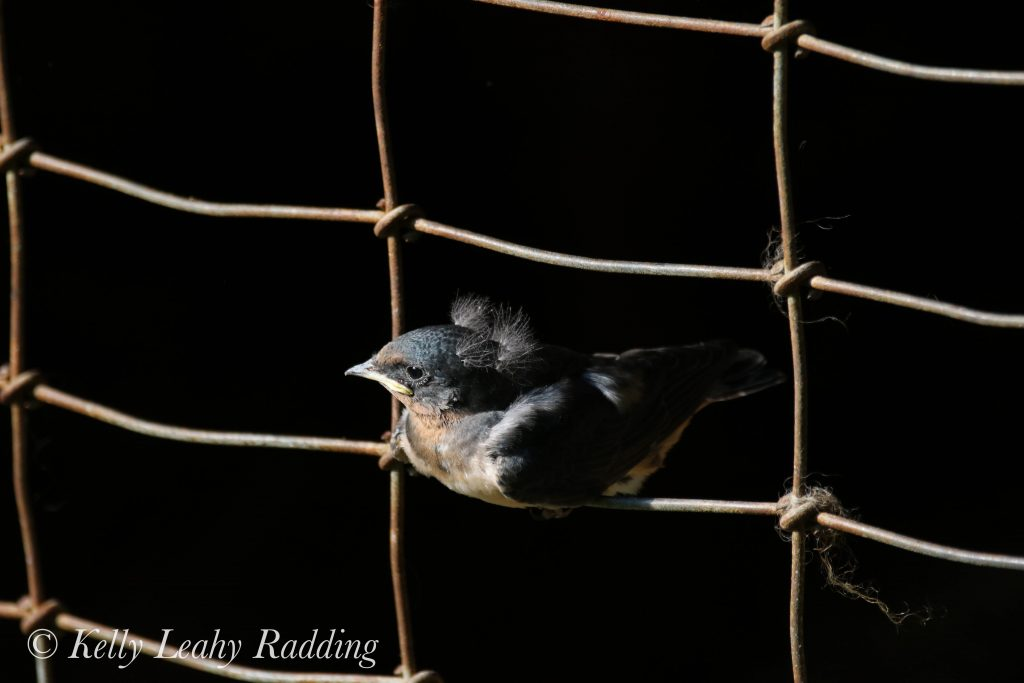 fledgling barn swallow, Kelly Leahy Radding
