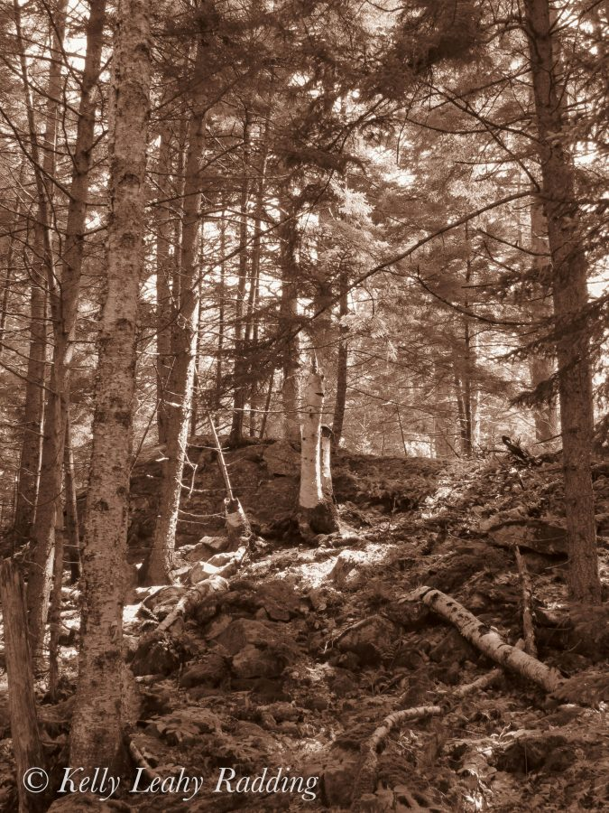 forest, sepia, coastal maine botanical gardens, Kelly Leahy Radding