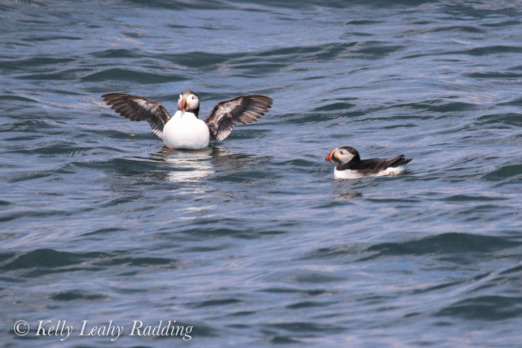 puffins, Kelly Leahy Radding