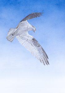osprey, Kelly Leahy Radding